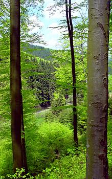 lange Buchenstämme ziehen sich vertikal durch das Bild. in frischem Frühlingsgrün leuchten die Blätter der Bäume und Büsche und hinter den Stämmen, auf der anderen Seite des Tals wachsen Fichten und Tannen in Monokultur